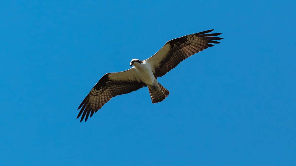An osprey in flight, notice the white underside and m-shaped wings