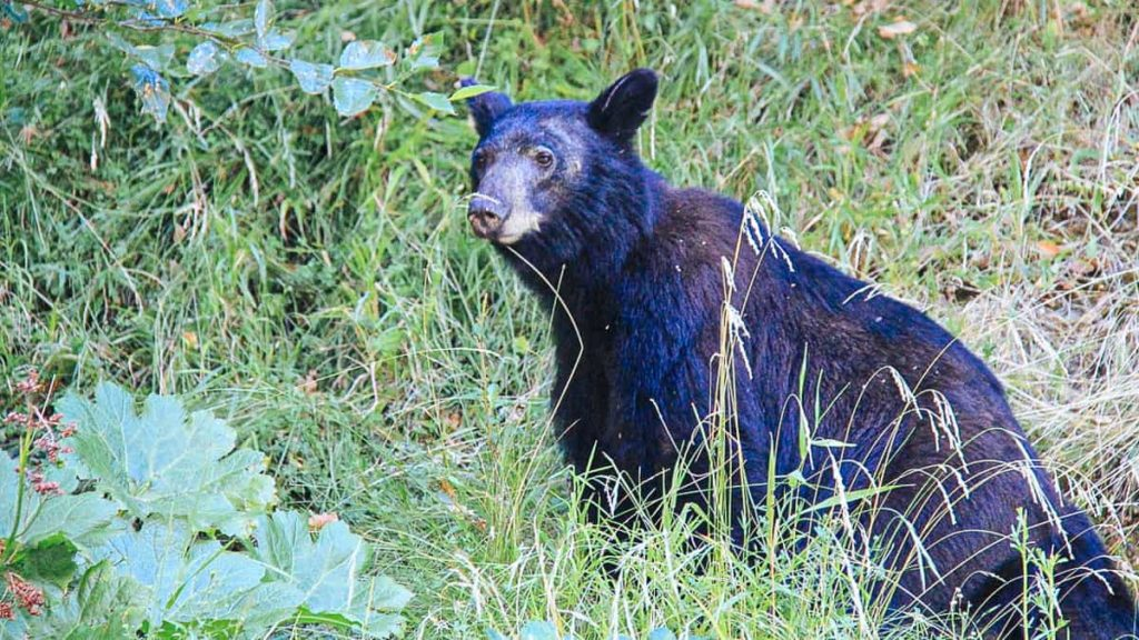 Black Bear on the Rogue River